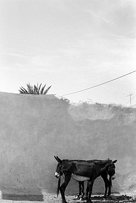 Donkey standing together in Morocco - p8700025 by Gilles Rigoulet