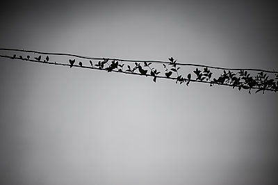 Leaves on electric wire - p1007m1144345 by Tilby Vattard
