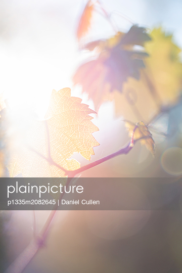 Vine with Leaf - p1335m2082645 by Daniel Cullen