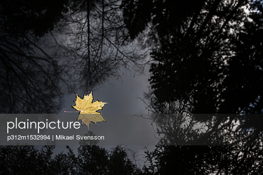 plainpicture | Photo library for authentic images - plainpicture p312m1532994 - Yellow maple leaf floating ... - plainpicture/Johner/Mikael Svensson