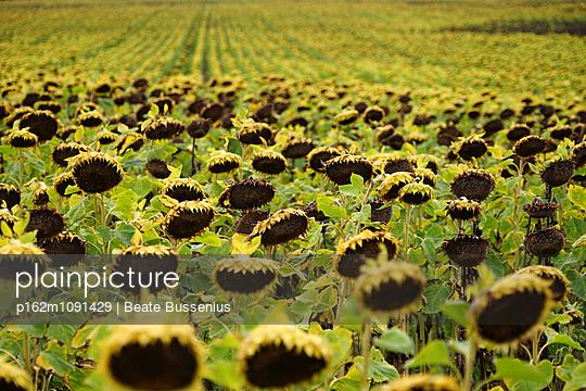 Sonnenblumenfeld - p162m1091429 von Beate Bussenius