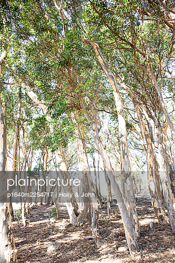 Eucalyptus trees in the sunshine - p1640m2254717 by Holly & John