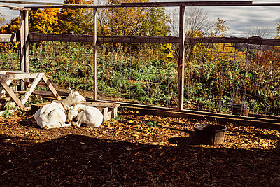 Two goats lying together on farm - p924m1446980 by Ashley Corbin-Teich