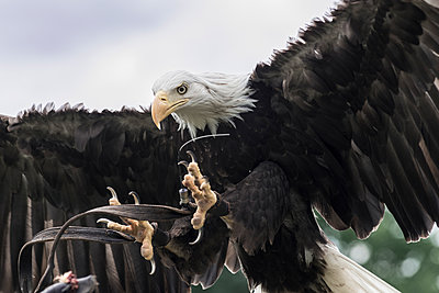 Bald eagle  - p973m1496192 by Jennifer Rumbach