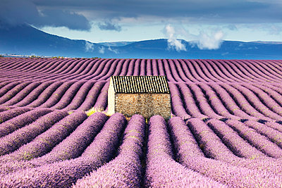 France, Provence Alps Cote d'Azur, Haute Provence, old stone barn surrounded by rows of lavender on Valensole plateau - p651m2007279 by Tim Mannakee