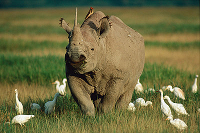 Black Rhinoceros grazing in grassland surrounded by a flock of Cattle Egrets - p884m862266 by Mitsuaki Iwago