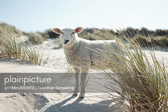 Lamb in the dunes - p1198m2053973 by Guenther Schwering