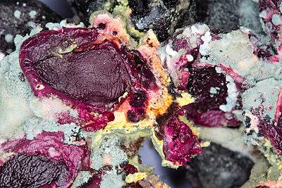 Verschimmelte Weintrauben III - p1057m916050 von Stephen Shepherd