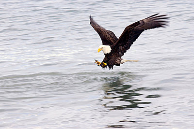 Bald Eagle Fishing - p4342901f by Donna Eaton