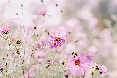 Pink blossoms, flowering meadow - p879m2284101 by nico