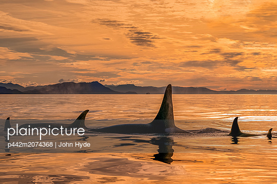 Orca whale (Orcinus orca) pod in Chatham Strait at sunset, Southeast Alaska; Alaska, United States of America - p442m2074368 by John Hyde