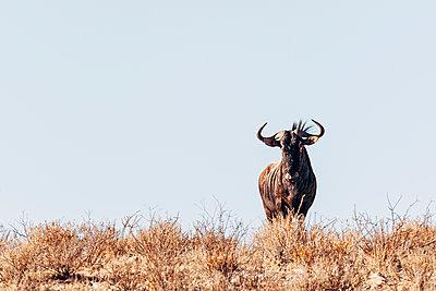 Ein Gnu in der Savanne, Kalahari, Afrika - p1065m982583 von KNSY Bande