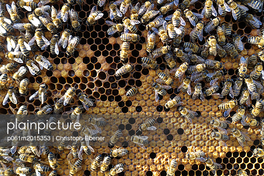 Bienenstock: Brutwabe, Sammlerbienen und Wächterbienen - p061m2015353 von Christoph Ebener