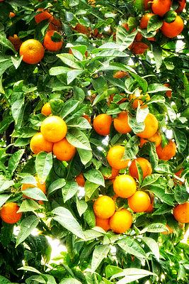 Orange tree with oranges - p597m901745 by Tim Robinson