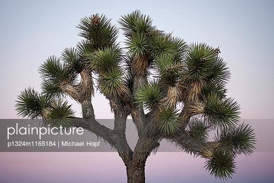Joshua Tree im Abendrot - p1324m1165184 von michaelhopf