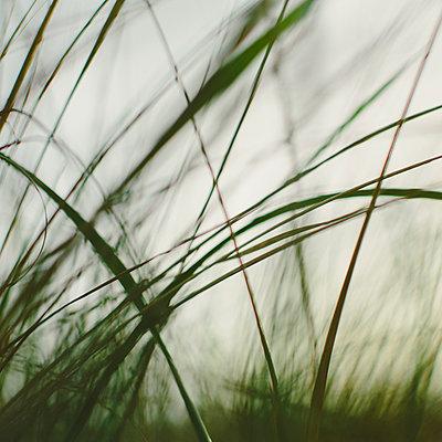 Sea grasses on the sand dunes on Long Beach Peninsula dunes. Close up. - p1100m923397f by Paul Edmondson