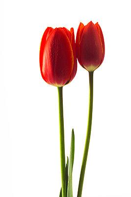 Tulips Tulipa gesneriana - p3005323f by Dieter Heinemann
