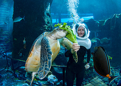 A diver feeds a green sea turtle (Chelonia mydas), an endangered species, at Sea Life Park's Underwater Sea Trek Adventure in their big tank; Oahu, Hawaii, United States of America - p442m2154165 by Dave Fleetham