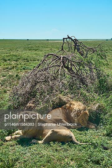 Zwei Löwen entspannen im Gras - p1146m1584383 von Stephanie Uhlenbrock