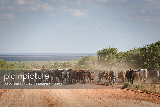 Africa, Namibia, Cattle drive on the Waterberg - p1273m2229617 by Melanka Helms