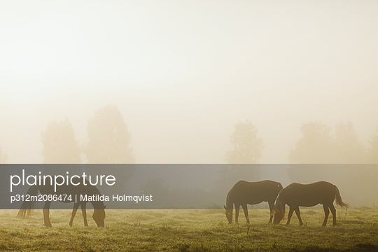 Horses in meadow - p312m2086474 by Matilda Holmqvist