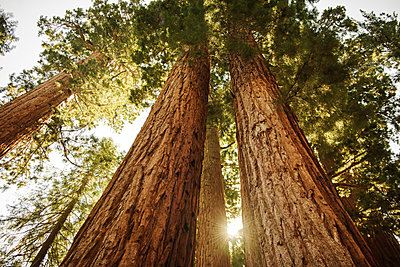 Usa, California, Low angle view of sequoias in forest - p1427m2292053 by Tom Grill