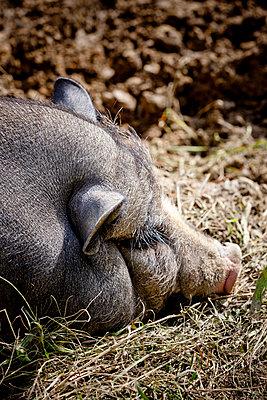 Wildschwein - p248m916537 von BY