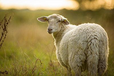 Schafe in Norddeutschland - p1273m2045657 von melanka