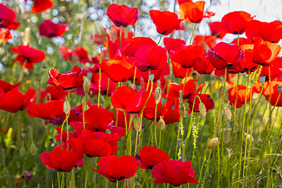 Red poppies in bloom; Spain - p442m2074092 by Vic Schendel