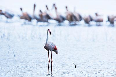 Flamingo and pelicans - p533m1152673 by Böhm Monika