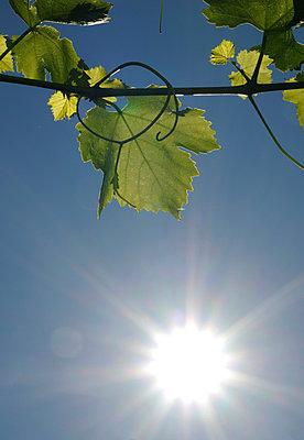 Vine leaf in summer - p067m916477 by Thomas Grimm