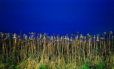 Dead sunflowers at night - p1132m925536 by Mischa Keijser