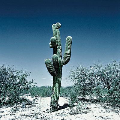 Cactus - p56710138 by daniel belet