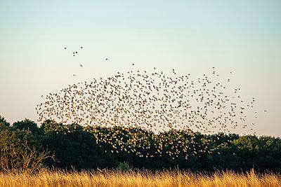 Flock of starlings in the sky - p739m2007929 by Baertels