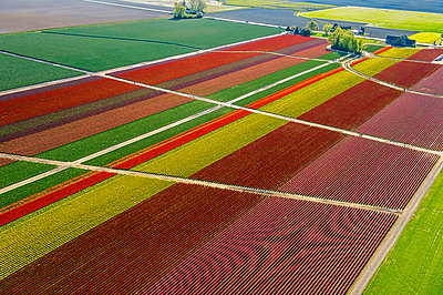 Aerial view of colorful tulip fields and paths - p924m1030174f by Pete Saloutos