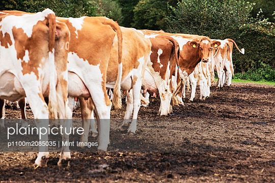 Herd of piebald red and white Guernsey cows on a pasture. - p1100m2085035 by Mint Images
