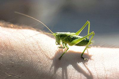 Grasshopper sitting on hand - p4500436 by Hanka Steidle