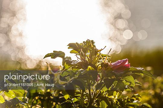 Heckenrose im Gegenlicht, Sylt, Schleswig-Holstein, Deutschland - p1316m1161005 von Arnt Haug
