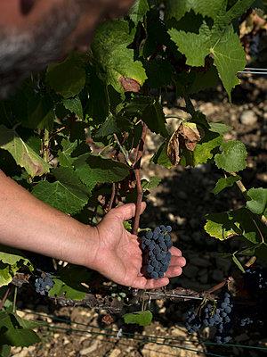 Vine and grapes - p1216m2260508 von Céleste Manet