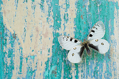 Butterfly on flaking turquoise wood - p300m2078935 by Claudia Rehm