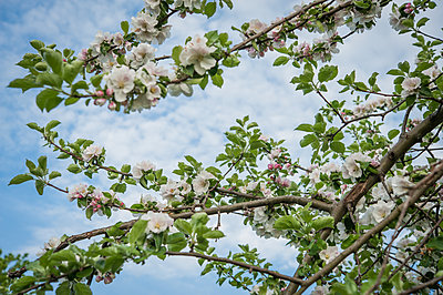 Blossoming of apple tree - p1288m1161433 by Nicole Franke