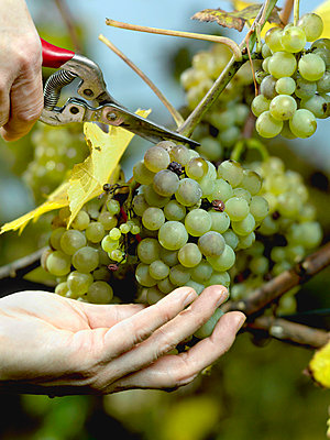 Human hands harvesting green grapes - p3018501f by Paul Hudson