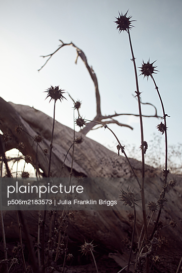 Thistles alongside tree trunk, California, USA - p506m2183573 by Julia Franklin Briggs