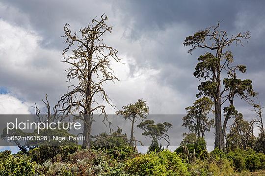 Aberdare National Park, Nyandarua County. Tall cedar trees in the Aberdare National Park. - p652m861528 by Nigel Pavitt