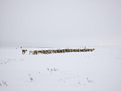 Herd of Reindeer running in Lapland - p1216m2182517 by Céleste Manet