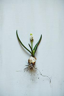 Spring flower - p1239m2272751 by Krista Keltanen