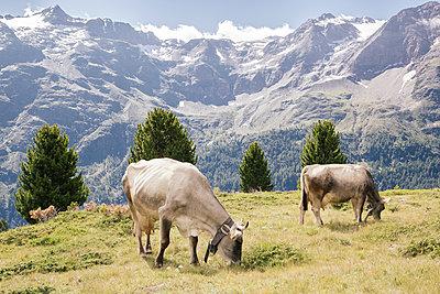 Grasende Kühe  - p1357m1362705 von Amadeus Waldner