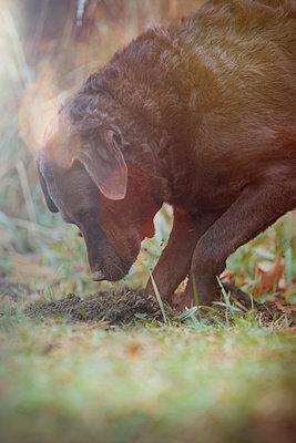 Brauner Labrador - p1421m2063737 von Simon Fröhlich