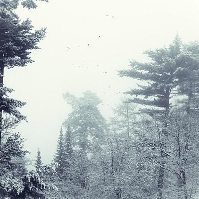 Germany, North Rhine-Westphalia, Wuppertal, Flock of birds flying over winter forest during foggy weather - p300m2155704 by Dirk Wüstenhagen