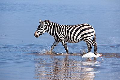 Zebra and spoonbill - p533m1152663 by Böhm Monika